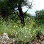 Helichrysum – Helichrysum italicum