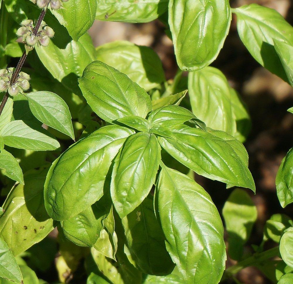Basil Essential Oil – Ocimum basillicum l.