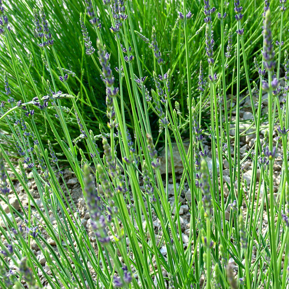 Lavandin – Lavandula hybrida