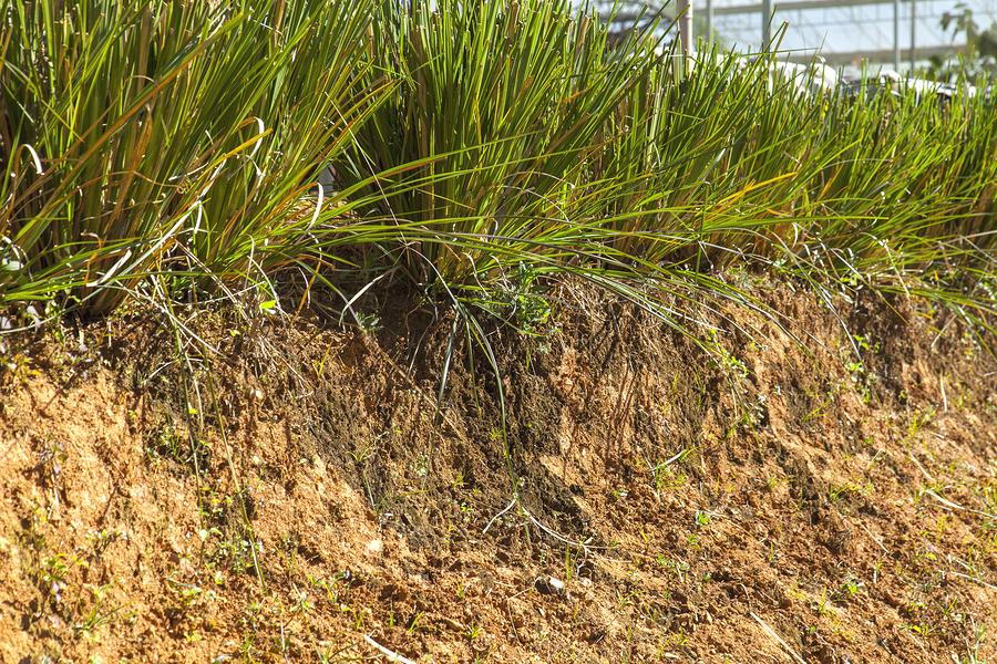 Vetiver – Vetiveria zizanoides