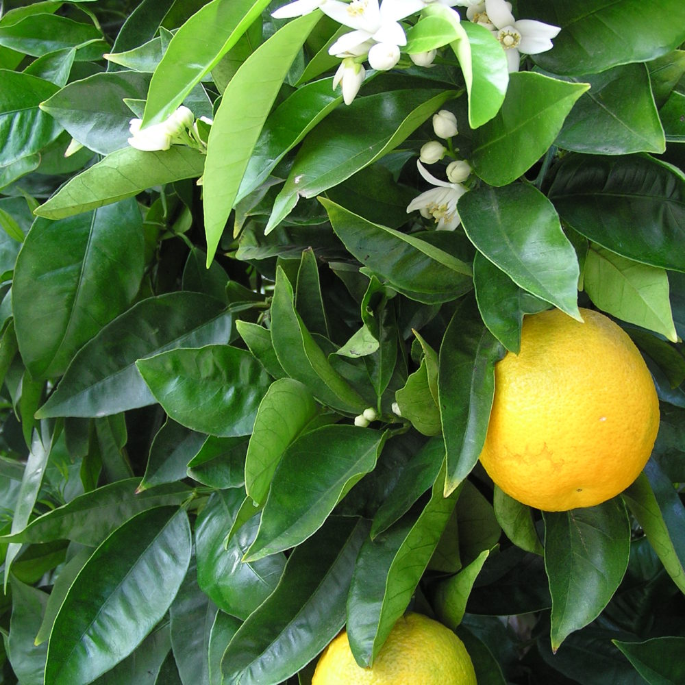 Orange – Citrus sinensis
