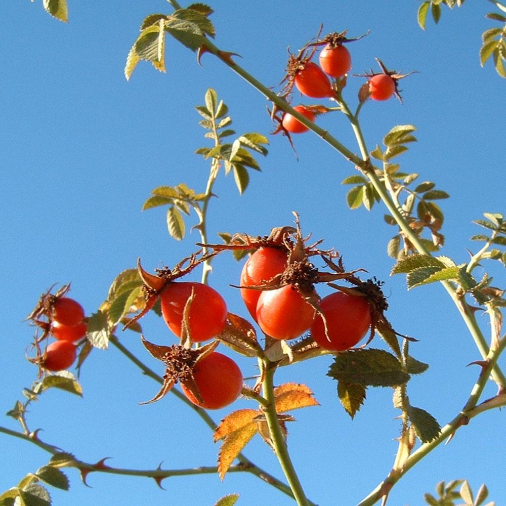 Rosa Rubiginosa – Rose Hip Seed Oil