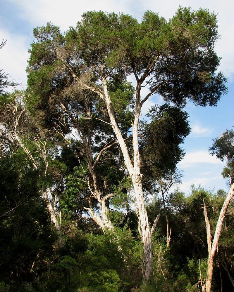 Tea Tree – Melaleuca alternifolia