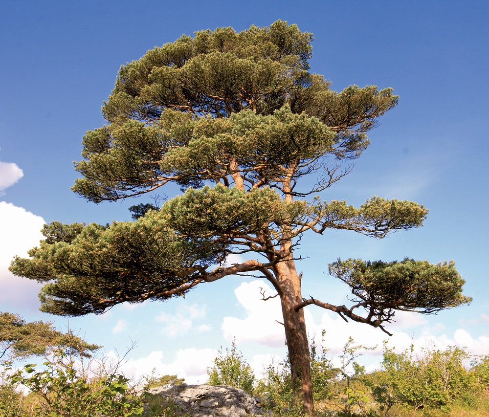 Scots Pine Essential Oil – Pinus sylvestris