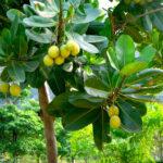 Calophyllum inophyllum (Tamanu) – Invaluable for skin conditions