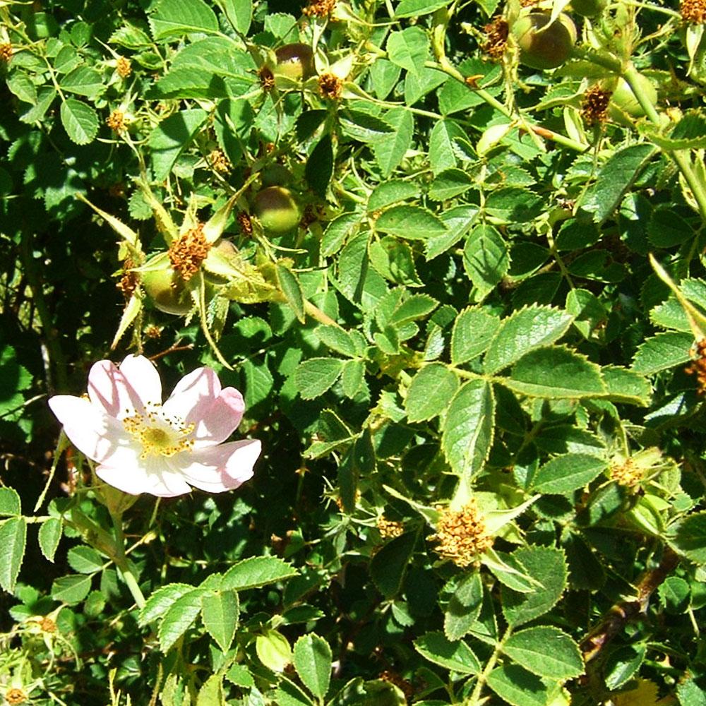 Skin regeneration with Rosa rubiginosa (Rose Hip Seed Oil)