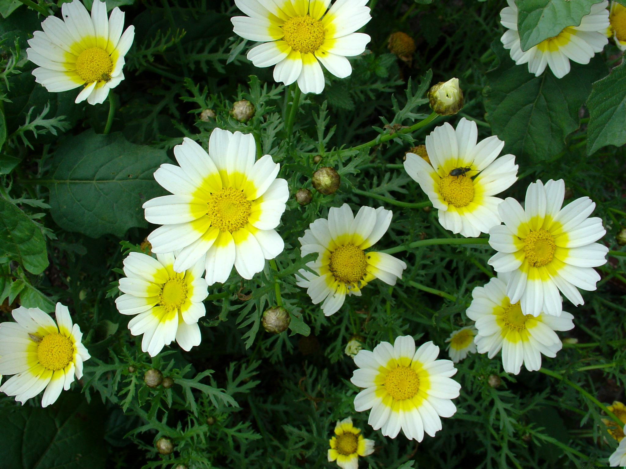 Understanding Different Camomile Essential Oils