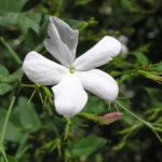 Jasmine Essential Oil — 'Queen of the Night'