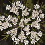 Carrot Seed Essential Oil – Daucus carota