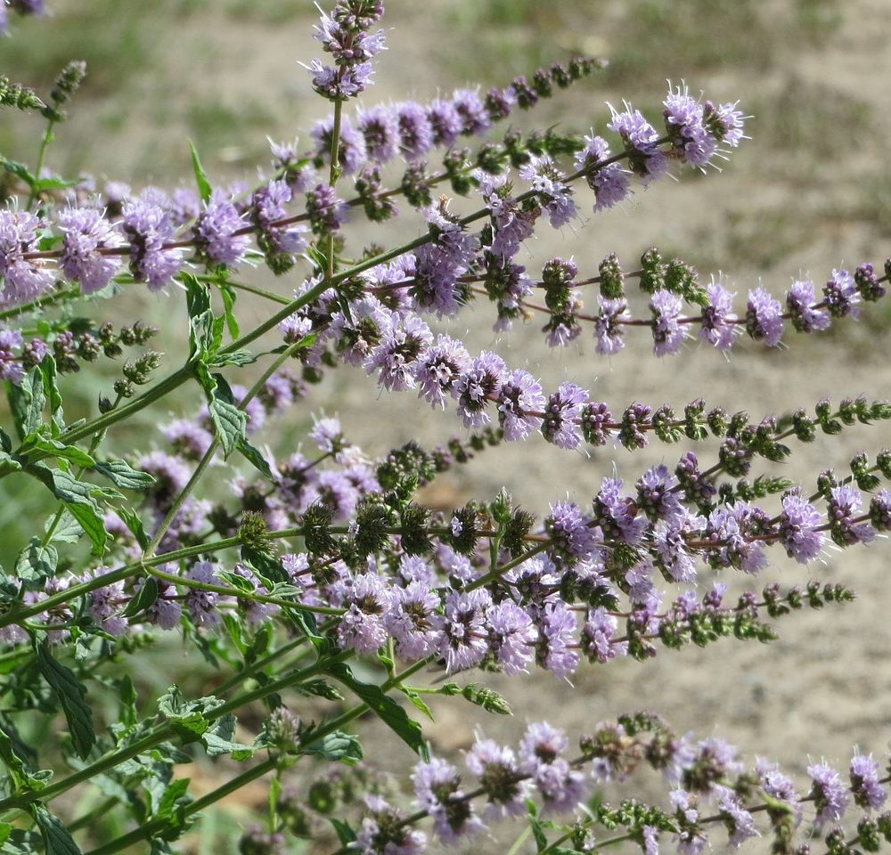 Spearmint Essential Oil – Mentha spicata