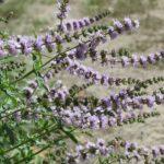 Spearmint Essential Oil – Mentha spicata