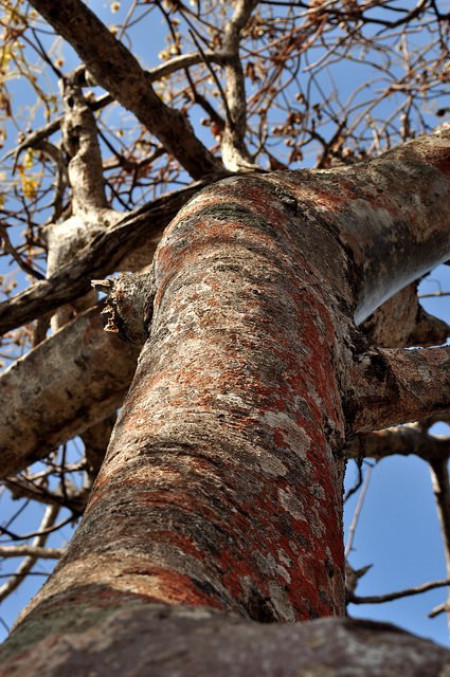 Palo Santo – Bursera graveolens: The Holy Oil