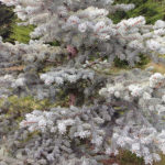 What is it about Silver Fir?
