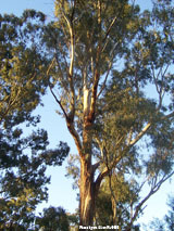 Which Eucalyptus essential oil should I use?