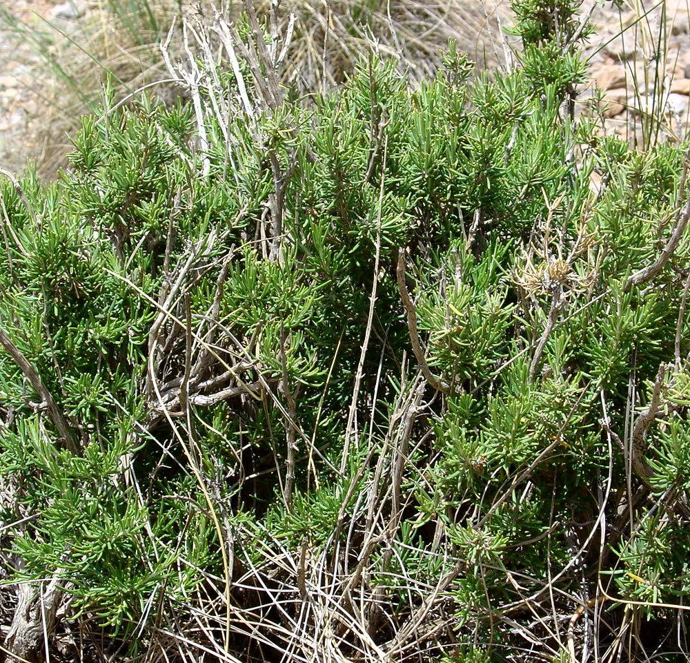Rosemary Essential Oil – Rosmarinus officinalis