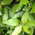 Bay Laurel — Laurus nobilis Respiration – Digestion – Inspiration