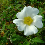 Cistus (Rock Rose) Essential Oil: Potent for Wounds and Skin Care